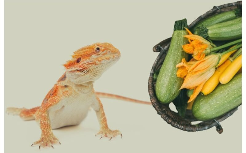 Can bearded dragons eat zucchini?
