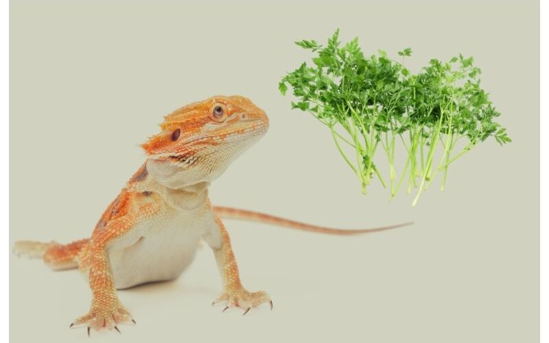 Can Bearded Dragons Eat Parsley?