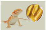 Can Bearded Dragons Eat Mango?