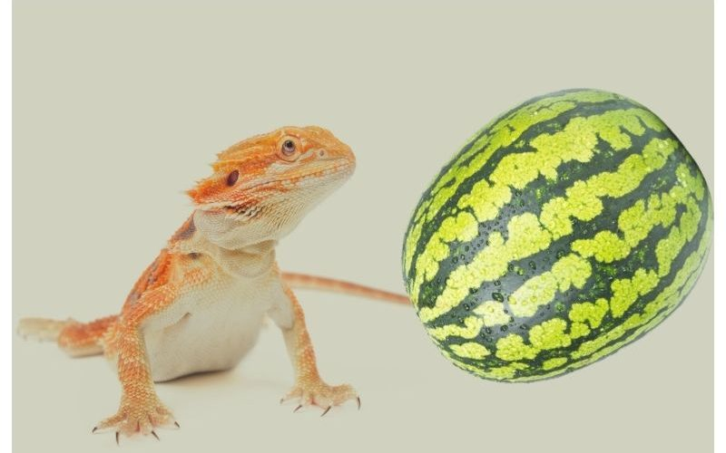 Can Bearded Dragons Eat Watermelons