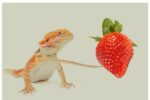 Can bearded dragons eat strawberries?