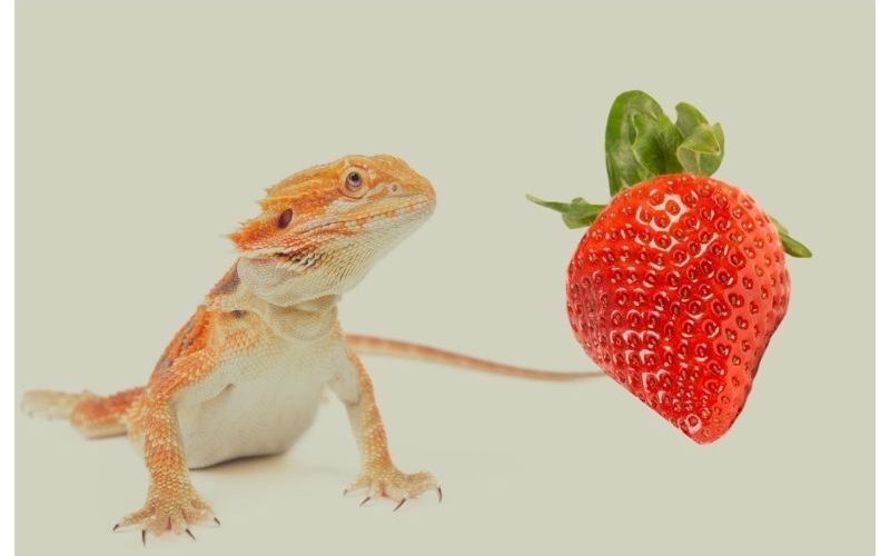 Can bearded dragons eat strawberries
