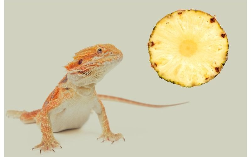 Can Bearded Dragons Eat Pineapple?