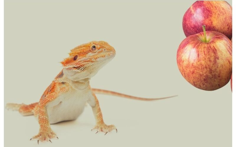 Can Bearded Dragons Eat Apples?