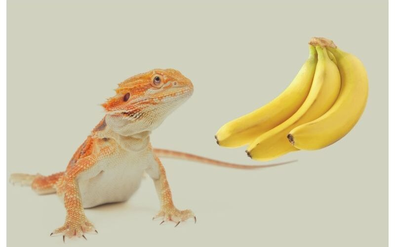Can Bearded Dragons Eat Bananas?