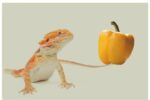 Can a Bearded Dragon Eat Bell Peppers?