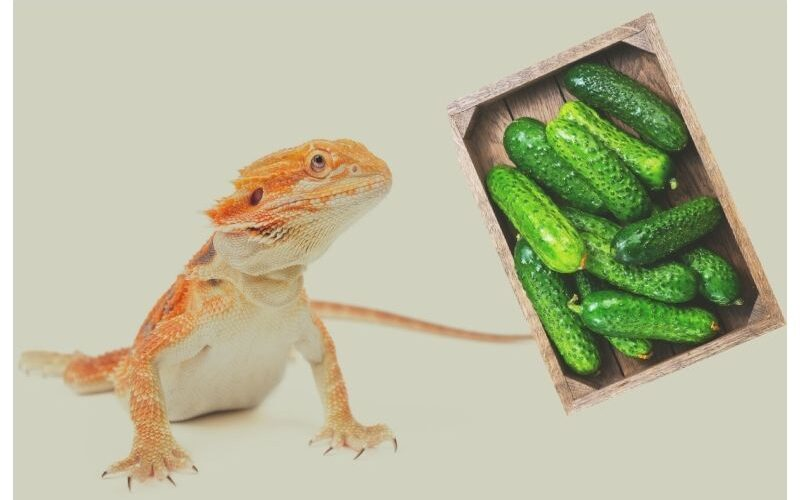 Can Bearded Dragons Eat Cucumber?