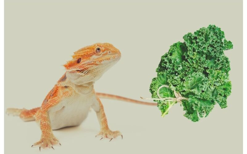 Can Bearded Dragons Eat Kale?