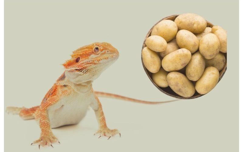 Can a Bearded Dragon Eat Potatoes?