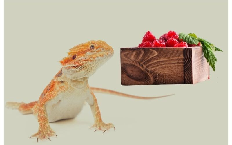 Can Bearded Dragons Eat Raspberries